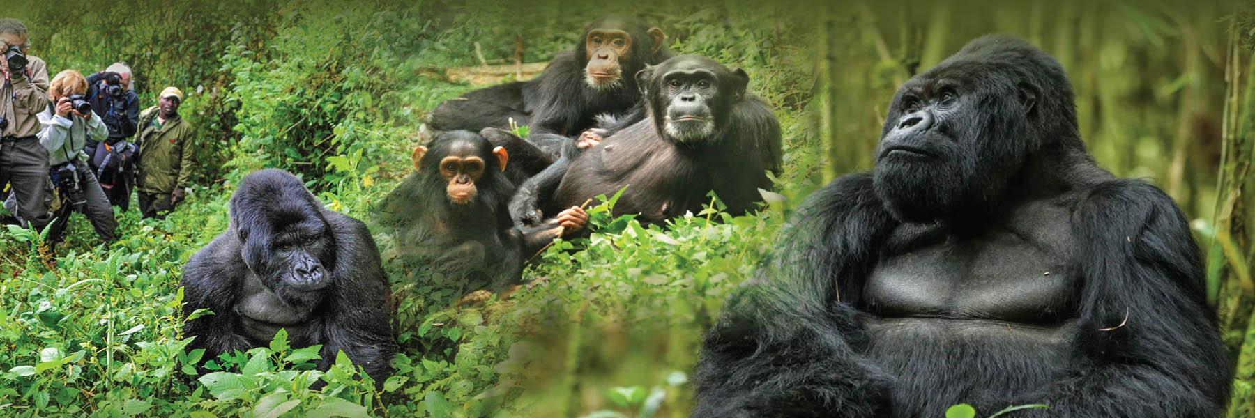 5 Days Gorilla and Chimpanzee Tour